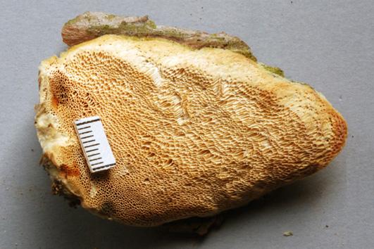 Diplomitopors flavescens.