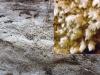 Fibrodontia gossypina