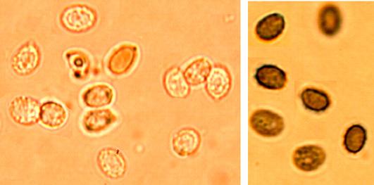 Gloeocystidiellum porosum, spores