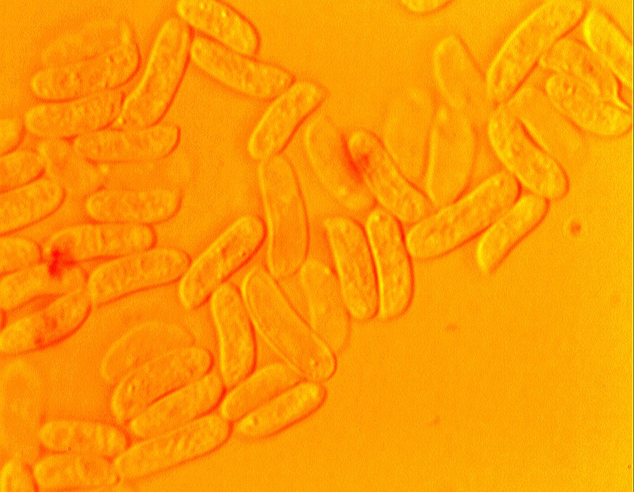 Gloeophyllum sepiarium, spores