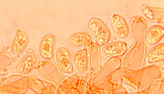 Hyphoderma argillaceum, spores.