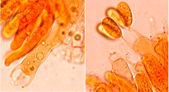 Hyphoderma cremeoalbum, basides.