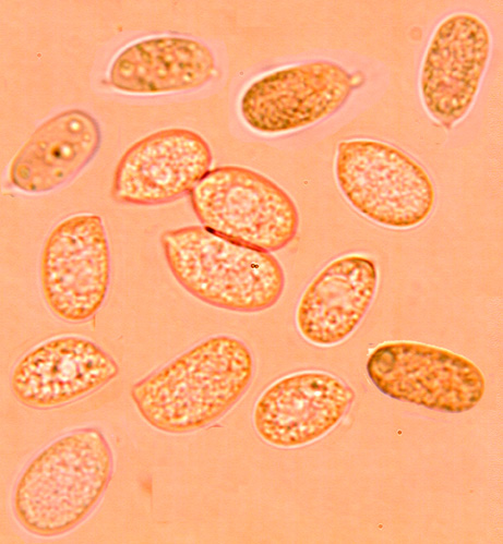 Hyphoderma cremeoalbum, spores