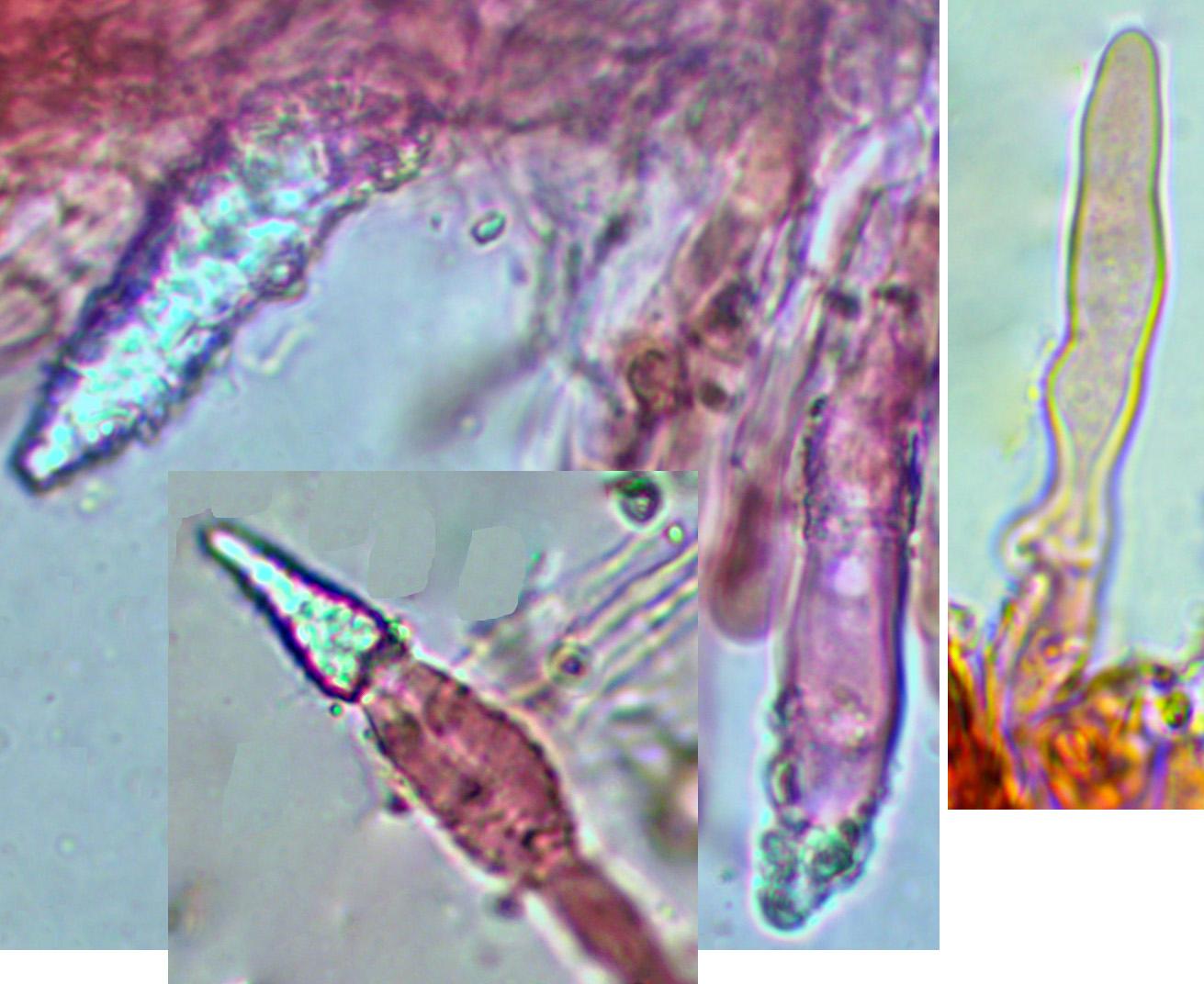 Hyphoderma mutatum, cystides.