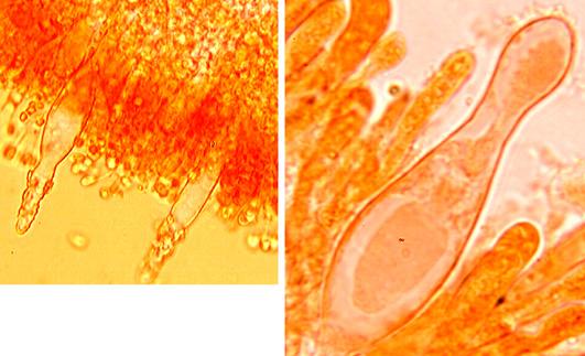 Hyphoderma probatum, cystides.