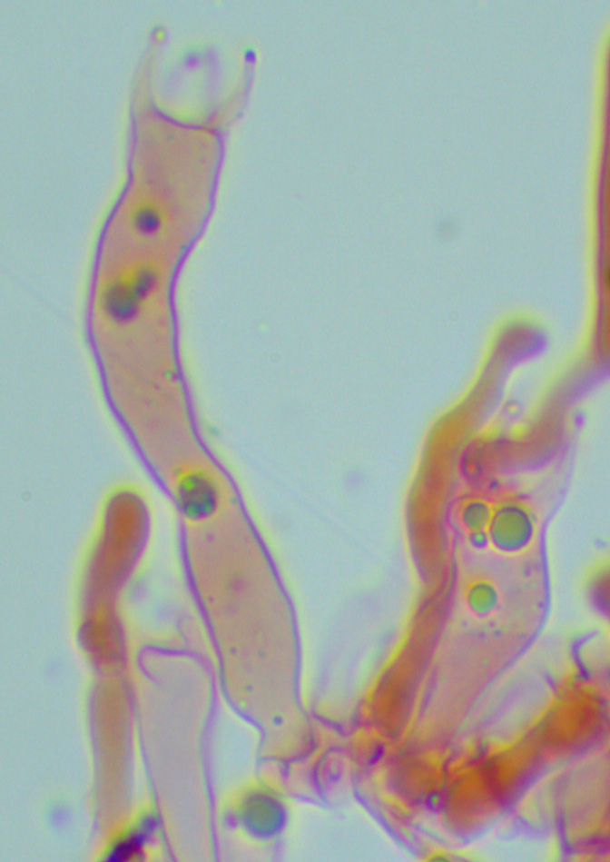 Hyphoderma roseocremeum, basides.