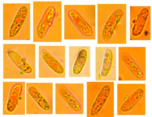 Hyphoderma transiens, spores.