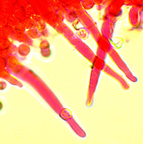 Hypochnicium cremicolor cystides