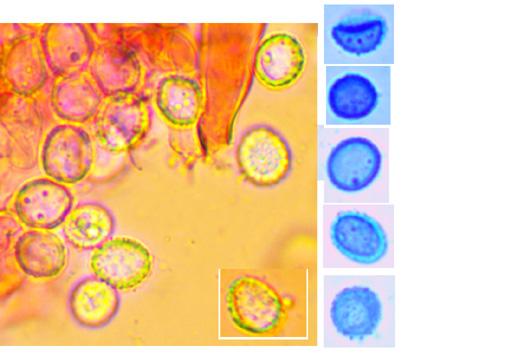 Hypochnicium punctulatum, spores