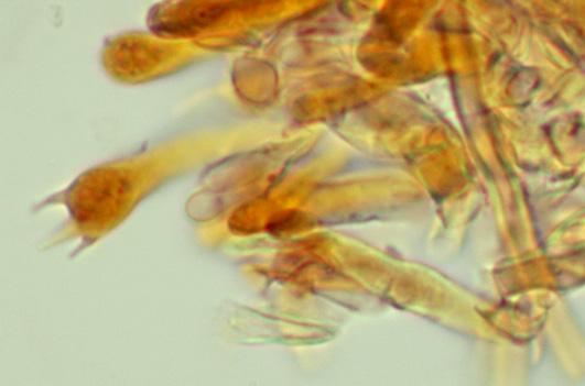 Irpex lacteus, baside.
