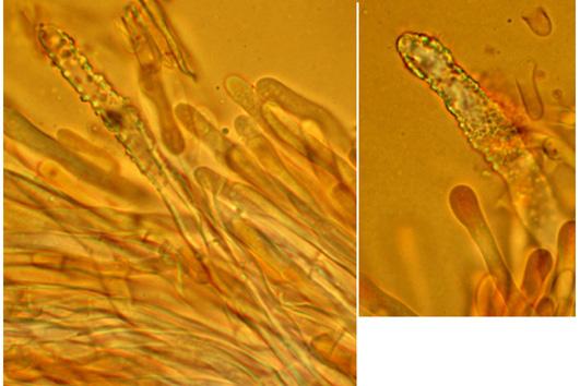 Irpex lacteus, hyphes