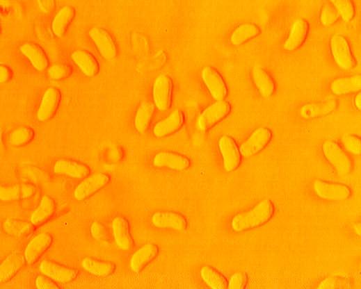 Irpex lacteus, spores.