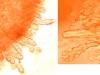 Junghuhnia nitida, cystides