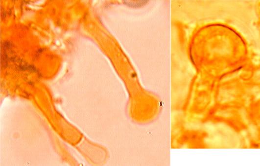 Halocystides cylindriques avec sommet capité
