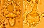 halocystide_resinicium_furfuraceum