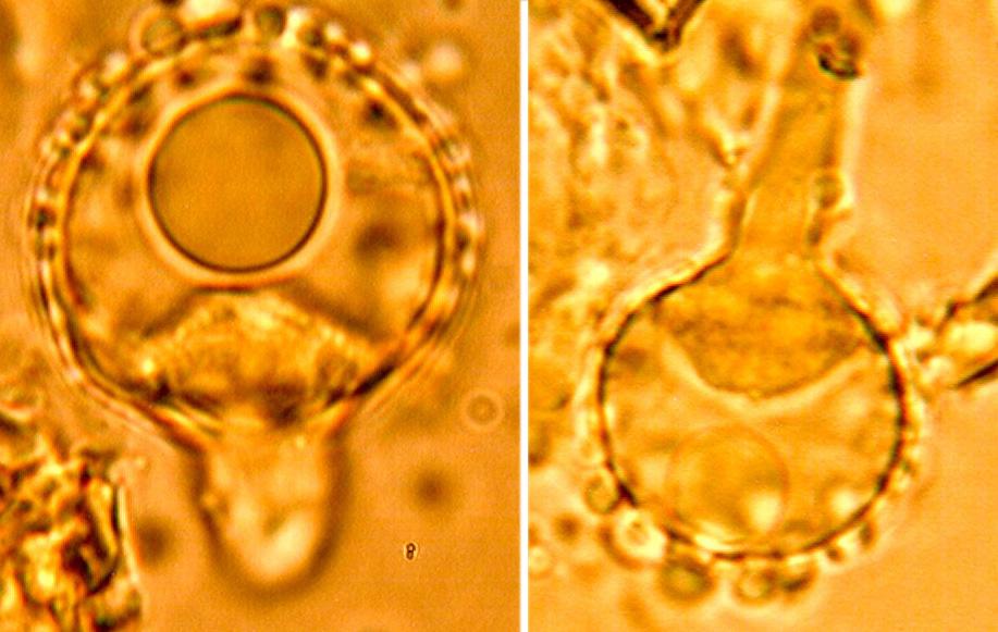 Halocystides