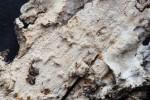 Hyphodontia nespori