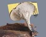 Polyporus varius
