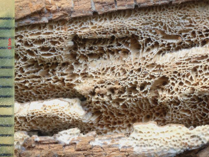 Pores anguleux à sinueux, 1 à 3 par mm. Dissépiment entier à denticulé Dissépiment : cloison limitant les tubes de l'hyménium
