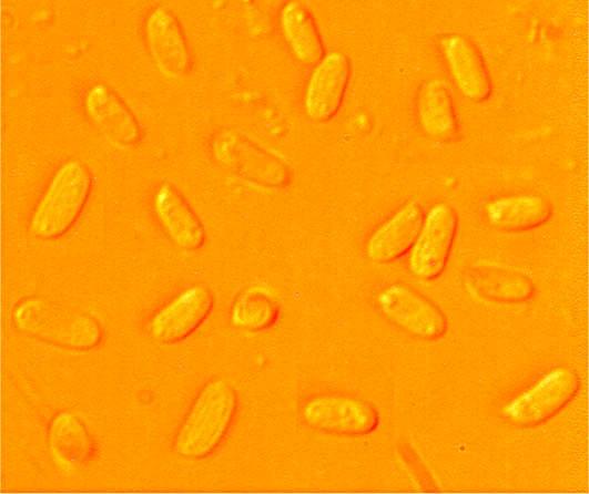 Spores ellipsoïdes , lisses, paroi mince