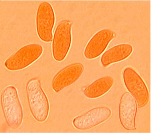Spores cylindriques lisses, paroi mince
