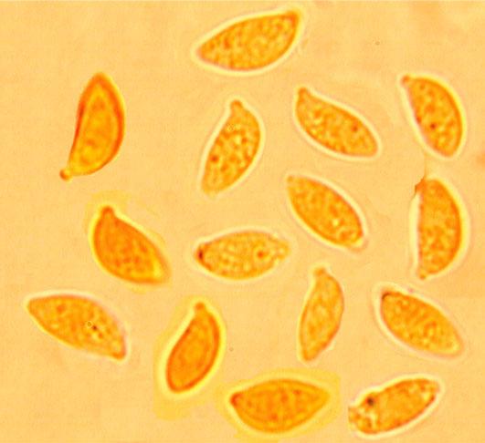 Spores  naviculairesavec un apicule développé, lisses à paroi mince