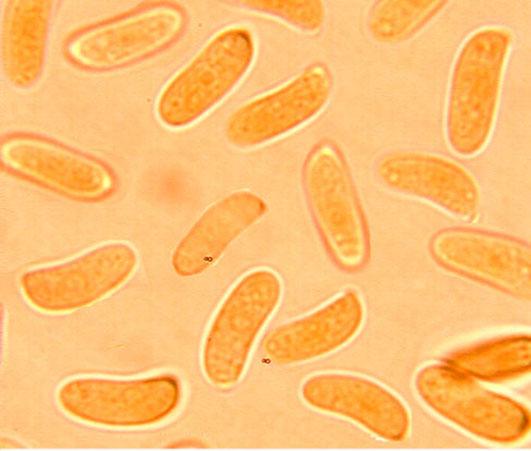 Spores subcylindriques à allantoïdes, lisses à paroi mince