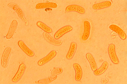 Spores allantoïdes, lisses, à paroi mince