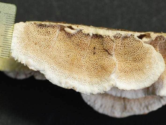 Hymenophore poré, pores irréguliers à dédaloïdes Dédaloïde :  très sinueux  et contourné