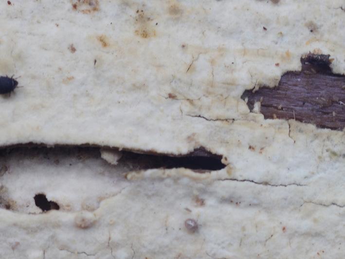 Hymenophore lisse craquelé en plages irrégulières quand il est sec apparaissant fortement poilu sous la loupe
