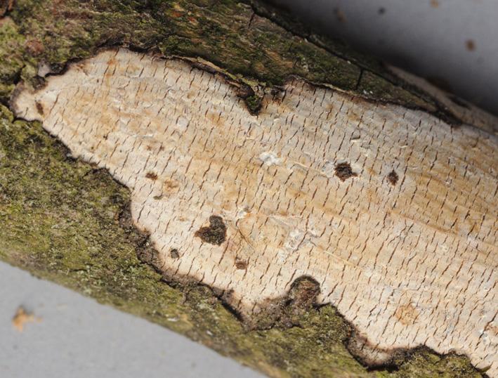 Basidiome résupiné,décorticant , adné Basidiome : carpophore des basidiomycètes  Adné : faisant corps avec le  substrat Décorticant : soulevant l'écorce et la déchirant