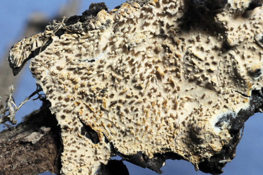 Hymenophore odontioïde avec des aiguillons épars Odontioïde : orné de dents
