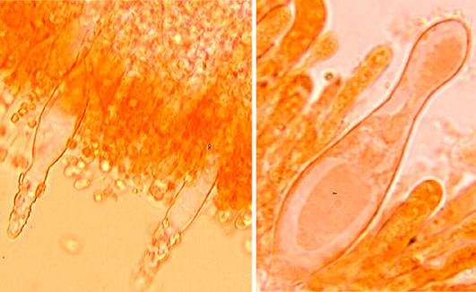 Cystides ventrues, incrustées au sommet