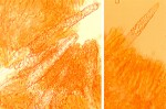 cystides_phlebiopsis_ravenelli