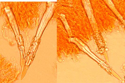 Lyocystides subulées avec un sommet  mucroné, incrustées près du sommet.