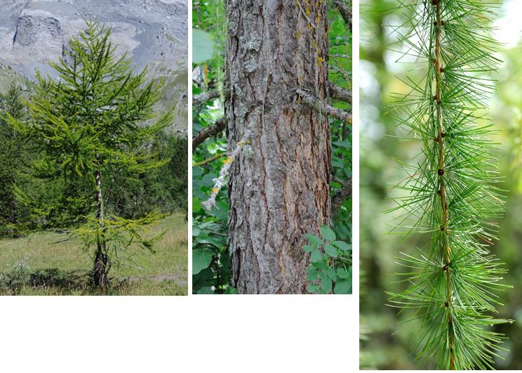 """""""Decidua"""" signifie """"qui perd ses feuilles"""", c'est le cas de tous les mélèzes; """"europaea"""" serait préférable car son aire est européenne. Ecorce  grisâtre sur les rameaux, puis avec des écailles bruns rouges feuilletées, très épaisse sur les vieux arbres Feuilles minces, molles, vert clair, jaunissent à l'automne et tombent."""