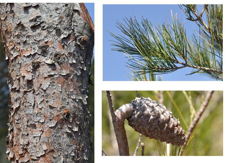 """Pin d'Alep ( nom mal choisi, en Syrie c'est Pinus brutia qui existe). Ecorce d'abord lisse et gris argenté puis crevassée, écailleuse gris-brunâtre. Aiguilles par 2, fines, aiguës et souples de 6 à 10 cm, groupée"""" en pinceaux"""" à l'extrémité des rameaux. Cônes à pédoncule épais et réfléchi."""