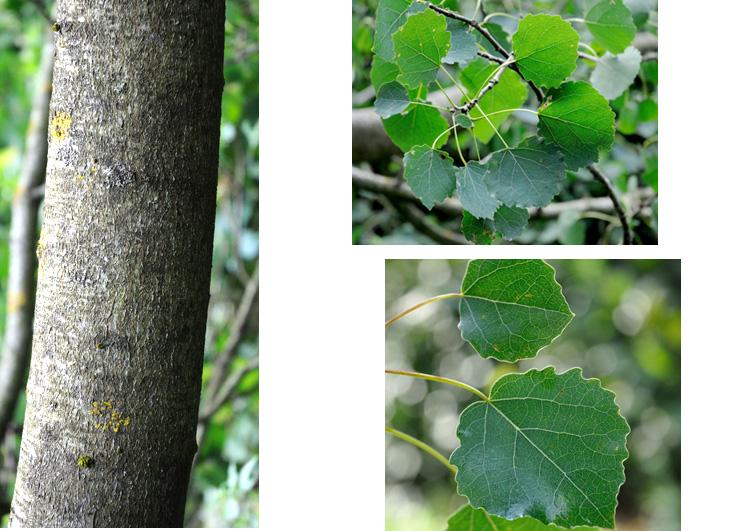 Tremula : tremblant, les feuilles sont facilement agitées par le vent. Ecorce lisse, blanchâtre ponctuée de lenticelles losangiques quand jeune,  se crevassant en crêtes gris noirâtre avec l'âge, surtout à la base du tronc. Feuilles 3 à 9 cm, simples, crénelées, arrondies ou triangulaires avec un long pétiole.