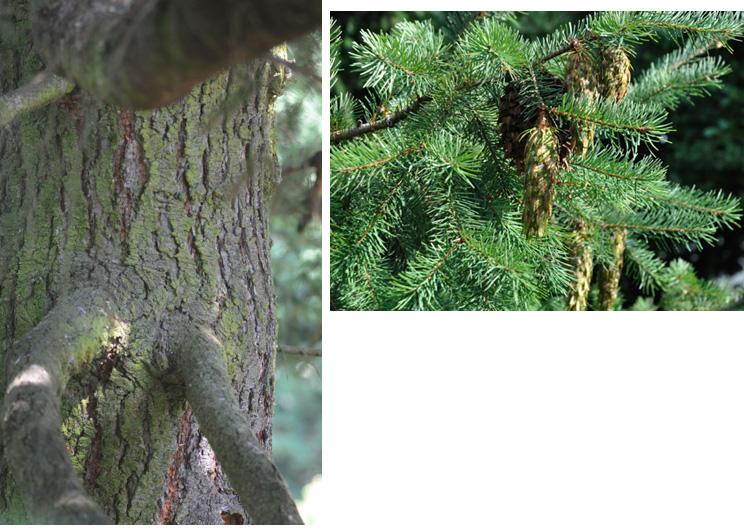 Sapin de Douglas (appellation à éviter, ce n'est pas un sapin) Ecorce d'abord lisse, fine, gris-vert puis brun-rouge, crevassée en long. Feuilles sous forme d'aiguilles, minces et aplaties, dessous deux bandes blanches discrètes. Odeur de citronelle.
