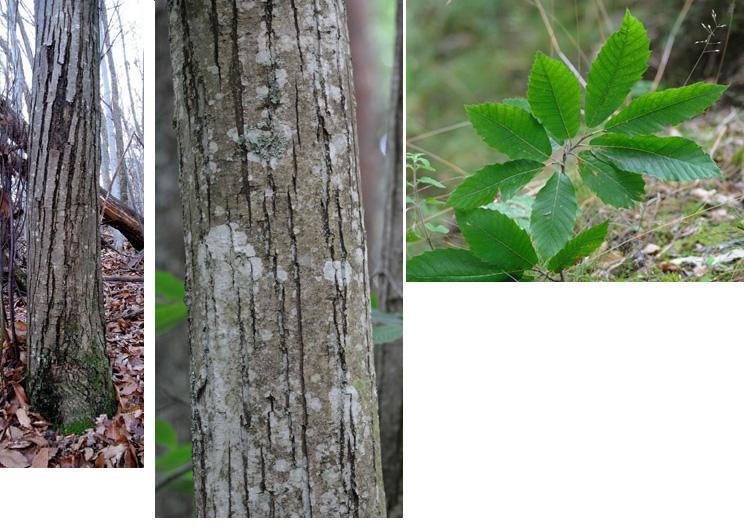 Sativa: cultivé Ecorce lisse jusqu'à 25 à 30 ans, puis gerçures longitudinales Feuilles pointues, bord à dents irrégulières et aiguës