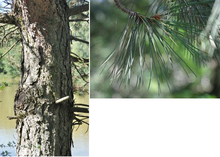 Nigra : noir, teinte d'ensemble de l'arbre très foncé Ecorce brun foncé souvent noirâtre; épaisse; profondément crevassée; plaque irrégulière.