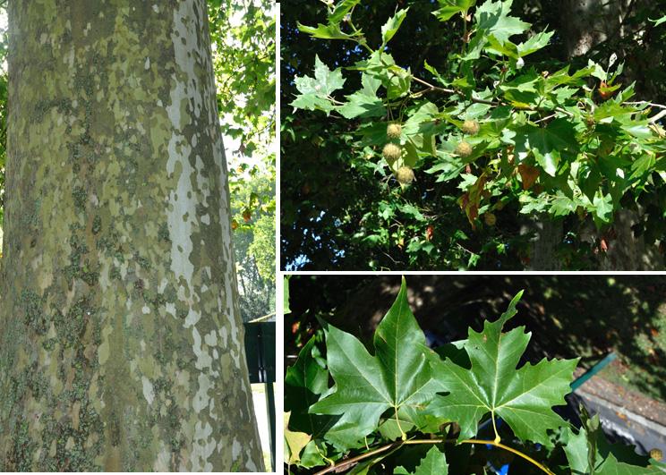 Acerifolia : feuilles ressemblant à celles de l'érable. Ecorce d'abord lisse, gris jaunâtre; puis larges plaques irrégulières brun clair s'exfoliant facilement. Feuilles alternes, grandes, palmatifoliées à 5 lobes pointus