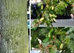 Quercus pedonculata