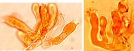 Basides clavées à 4 stérigmates et une boucle basale. Pas de cystides