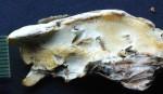 Oligoporus lacteus