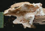 Oligoporus undosus