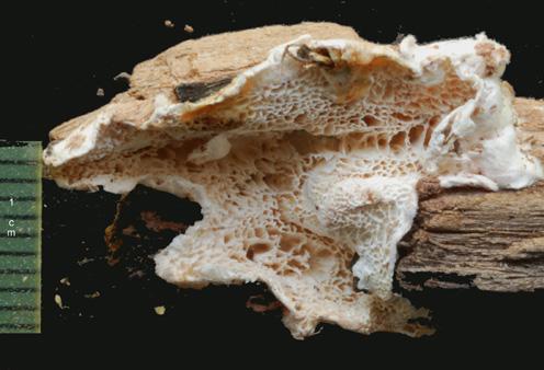 Basidiome résupiné ou étalé réfléchi. Pores irréguliers, anguleux à sinueux, 1 à 3 par mm Le plus souvent sur conifères, plus rarement sur feuillus.