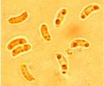 Oligoporus undosus, spores