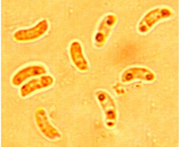 Spores allantoïdes, lisses à paroi mince. 4.1//5.5 x 1.1/2 µm.