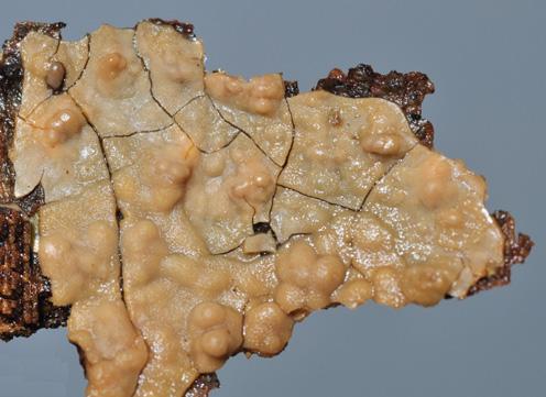 Basidiome résupiné, hymenophore lisse, blanc crème ou gris. Sur feuillus et aussi sur Pinus pinea et Abies alba